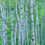 "<span class=""title"">白樺樹液の健康・美容効果を簡単にとり入れる方法と白樺樹液・葡萄樹液の美容効果</span>"