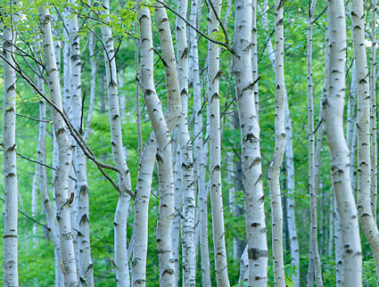 白樺樹液の健康・美容効果を簡単にとり入れる方法と白樺樹液・葡萄樹液の美容効果