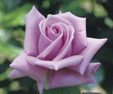 バラの中では、マダムヴィオレが好きです。