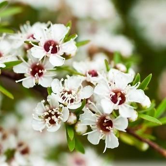 マヌカハニーの花